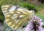 Pontia callidice (I)
