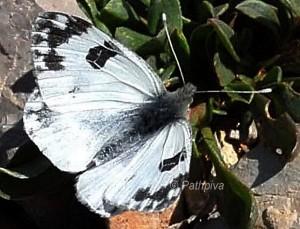 Pontia daplidice 1
