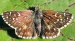 Pyrgus armoricanus (I)