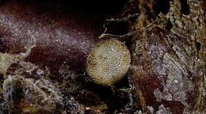 Satyrium acaciae