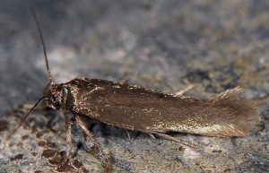 Scythris amphonycella 1