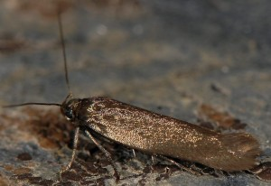 Scythris amphonycella 2