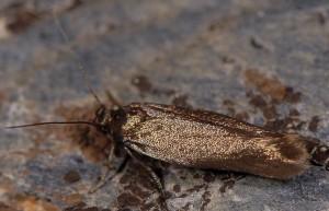 Scythris amphonycella 3