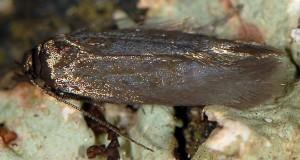 Scythris amphonycella 5