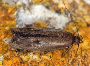 Scythris-binotiferella-06-2