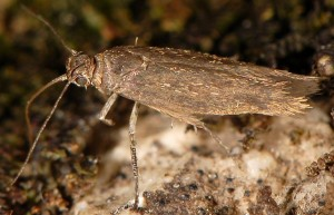 Scythris binotiferella 4
