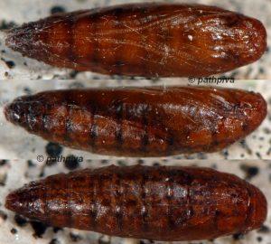 Scythris-binotiferella-chrysalide-06-1