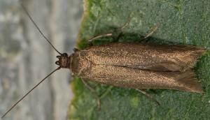 Scythris bornicensis 1