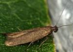 Scythris bornicensis (I, G)