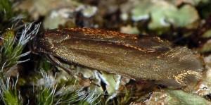 Scythris clavella 4