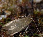 Scythris cuspidella (I, G)