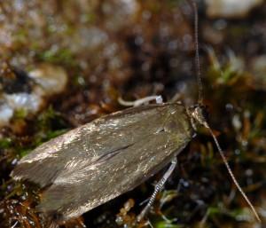 Scythris cuspidella 1