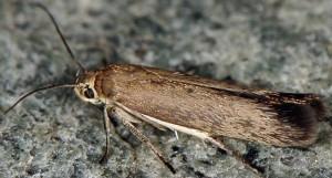 Scythris dorycniella 6