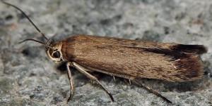 Scythris dorycniella 8
