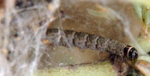 Scythris dorycniella L5 3