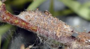 Scythris dorycniella c