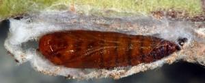 Scythris dorycniella p 1