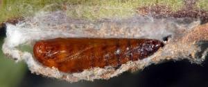 Scythris dorycniella p 2