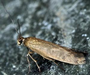 Scythris ericetella 2