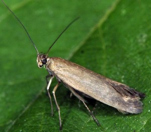 Scythris ericetella 3