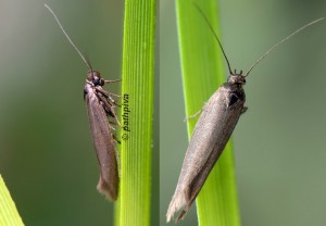 Scythris ericetella 34 1