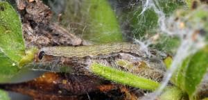 Scythris ericetella L5 3