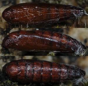 Scythris ericetella p