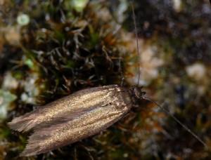 Scythris fallacella 3