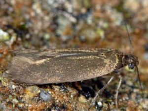 Scythris flavilaterella 4