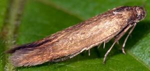 Scythris fuscoaenea 2