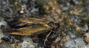 Scythris fuscoaenea 3