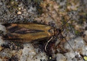 Scythris fuscoaenea 4