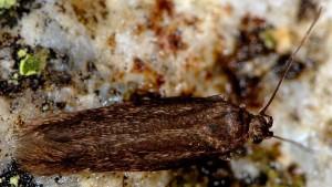 Scythris fuscopterella 3