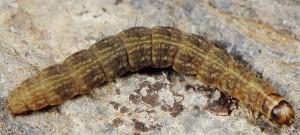 Scythris glacialis L5 1
