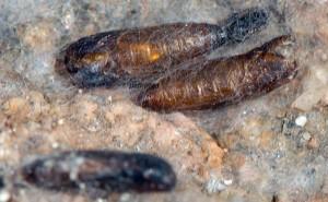 Scythris glacialis p 2