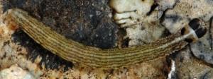 Scythris heinemanni L5 4