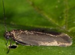 Scythris lampyrella (I)