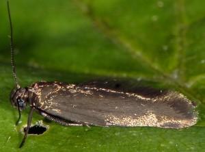 Scythris lampyrella 1