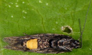 Scythris lampyrella 3