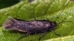 Scythris lhommei (I, G)