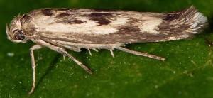 Scythris limbella 1
