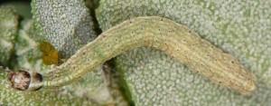 Scythris limbella L4 1