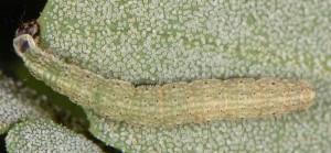 Scythris limbella L4 2