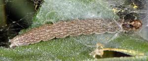 Scythris limbella L5 2