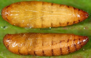 Scythris limbella p