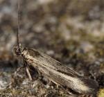 Scythris mediella (I)
