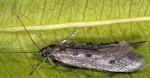 Scythris noricella (I, L4, L5, N, P, G)