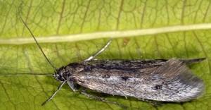 Scythris noricella 2