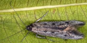 Scythris noricella 3