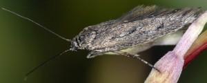 Scythris noricella 5